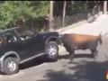 Бык атакует автомобиль