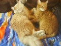 Два кота