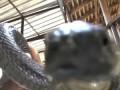 Королевская кобра. Змеиное шоу. Часть 1.