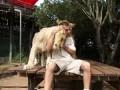 Дружелюбные львы