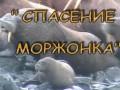 Спасение моржонка