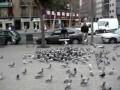 Как ловят голубей в Испании
