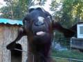 говорящий козёл