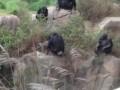 обезьянки и енот