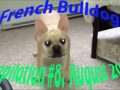 French Bulldog compilation #8. August 2015
