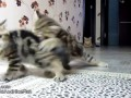 Кошачья Формула 1