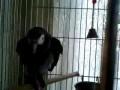 Попугай Жако + Битбокс