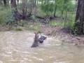 Кенгуру пытается утопить собаку (Part 1)