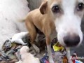 Mother dog bleeding from glass cut rescued