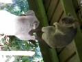 Очень злая коала!