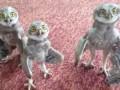 3 Funny Owl Babies