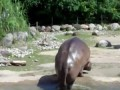 World's Biggest Fart - The Hippo