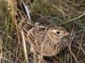 Голоса птиц - Полевой жаворонок
