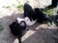 Сумасшедшие щенки и бедный кот.