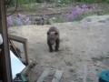 Камчатка - нападение медведя