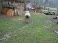 Собака с овцой бегают наперегонки