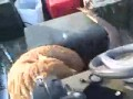 Безбашенный гусь кападает на мужика и его собаку