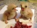 Завтрак юных хищных птиц