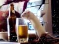 Крыса - любительница пива