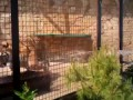Парк Тайган Купание Амурских тигров