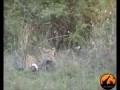 Охота гепарда . Поймал на лету .