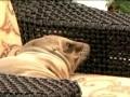 Морской лев залез в гостиницу и выспался в мягком