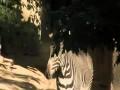 Cute Baby Zebra Colt-Cincinnati Zoo