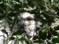 Исполинский белоног, дымчатый лягушкорот