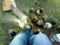 Нападение голубей