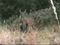 Боевой олень пиздит охотника