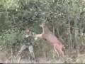 Олень атакует охотника