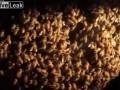 Пчёлы против шершня