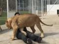Львица и человек