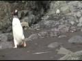 Наглый пингвин