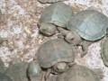 10 000 черепах нашли в чемоданах в аэропорту Индии
