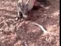 Комодский варан заживо ест оленя