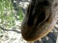 Поцелуй с жирафом!