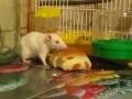 Крыса Феся