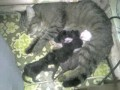 Мама-кошка кормит своих котят