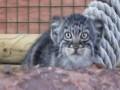 Маленькие котята-манулы