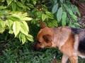 Собака ест черешню