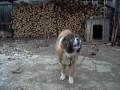 Собачья песня под Гармонь
