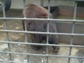 Огромный медведь