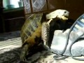 Turtle Rapes Shoe