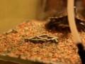 Красноухая черепаха охотится