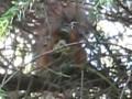 Белка жрет живого птенца!