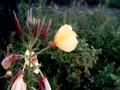 Цветок 'ночная красавица' открывается прямо на глазах.