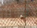 Wolf Sanctuary - Pack Howling
