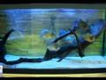 Пираньи Убивают и Едят Карася. Piranhas Kill and Tat Carp