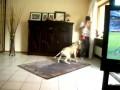 Собака против вувузела